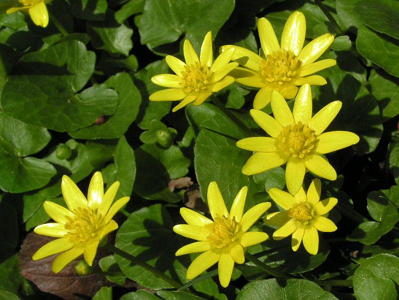 Цветок чистяк весенний