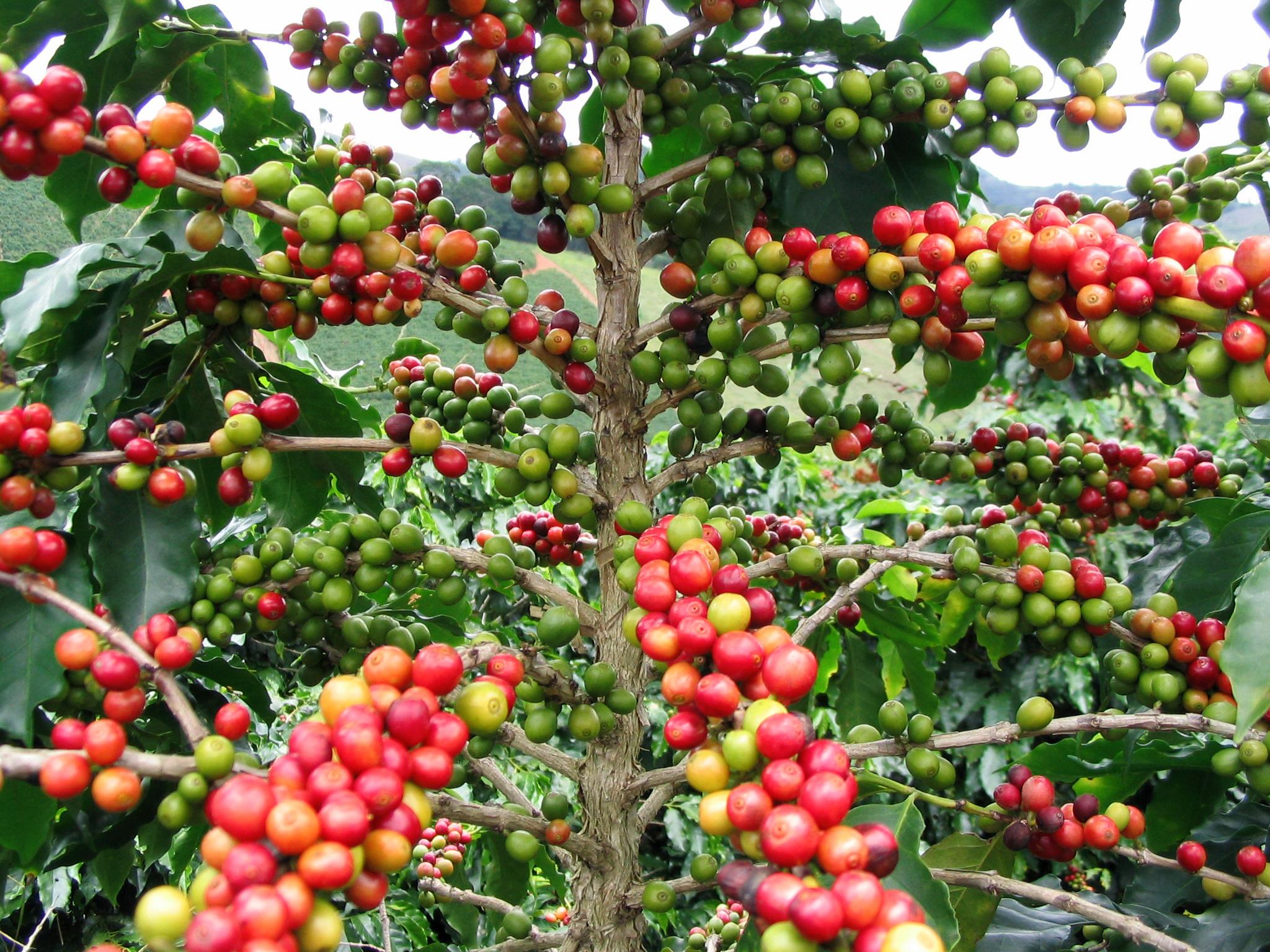 Фото кофейных деревьев
