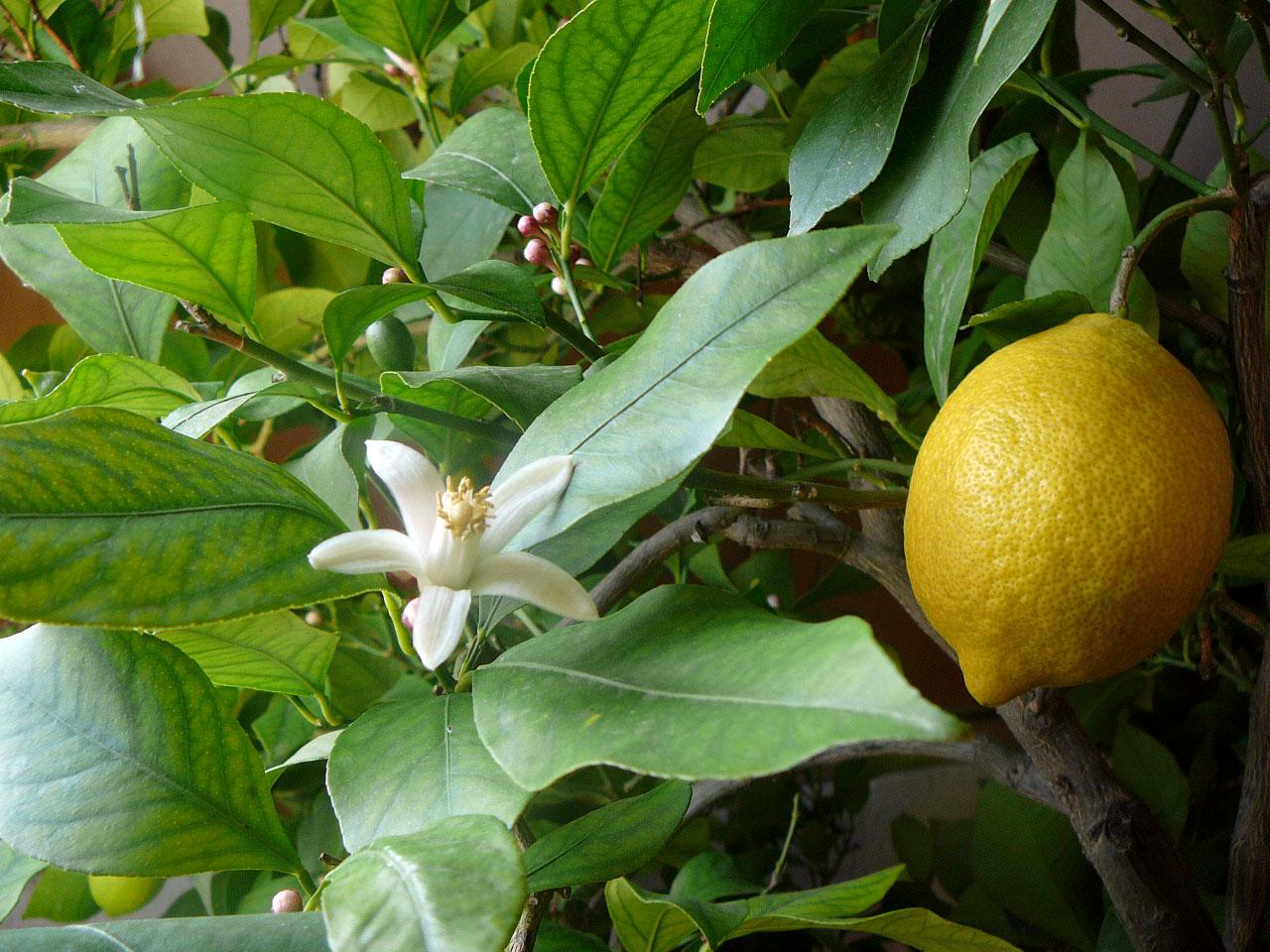 Формировка лимона схема фото