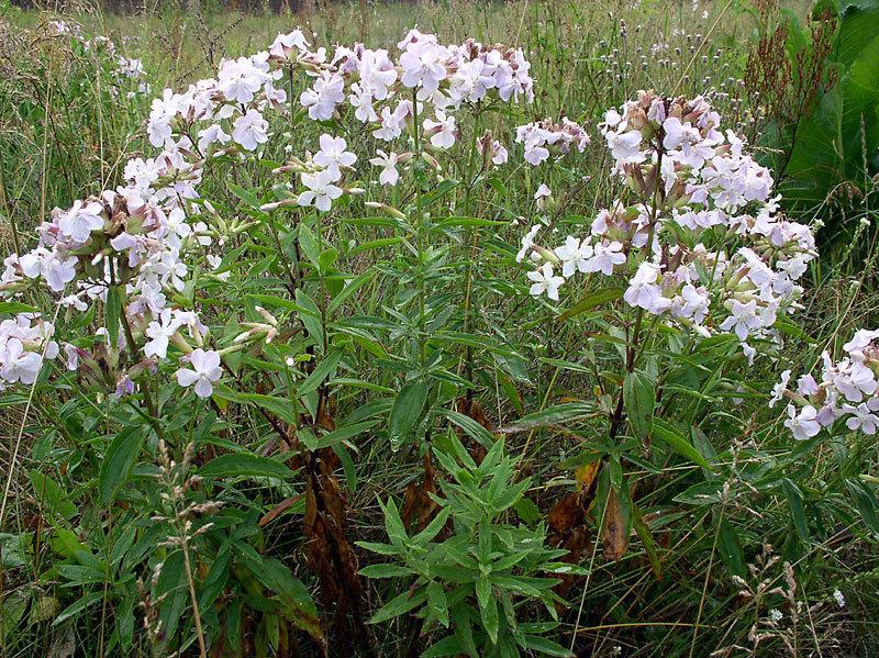 Многолетние лечебные цветы и травы