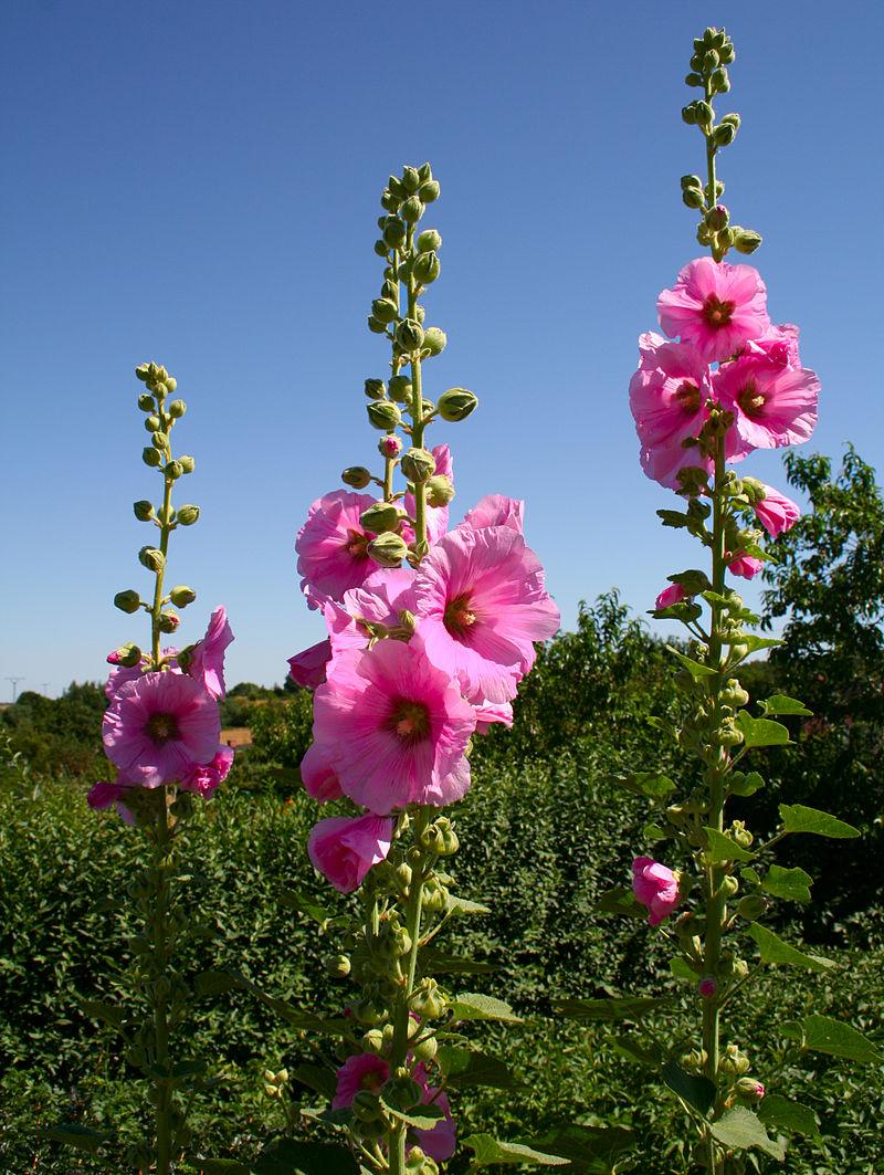 Розовый цветок на высоком стебле